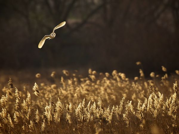 owl-flight-reeds_63784_600x450_mark bridger, NG wall paper