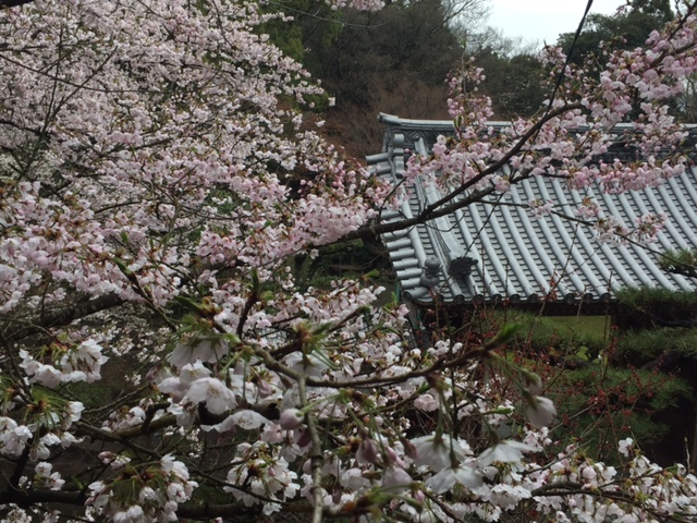 cherry blossom poem